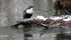 White-Throated Dipper (Cinclus cinclus) Stock Footage