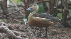 Lesser Whistling Duck Stock Footage