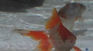 Stock Video Footage of Gold Fish swimming underwater in Raining water Aquarium (multiple shots)