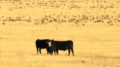 110415 whiteface angus cattle Stock Footage