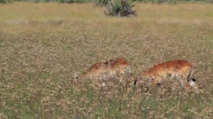 Red Lechwe in field Stock Footage
