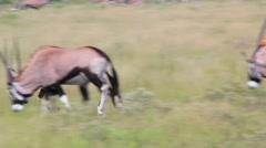 Oryx (Gemsbok) sparing Stock Footage
