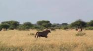 Oryx (gemsbok) running in field Stock Footage