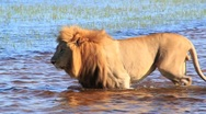 Lion walking in water Okavango Delta Stock Footage