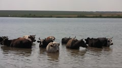 Herd of the ruminating cows (Bos taurus taurus) saving themselves from the midda Stock Footage