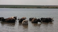 Stock Video Footage of Herd of the ruminating cows (Bos taurus taurus) saving themselves from the midda