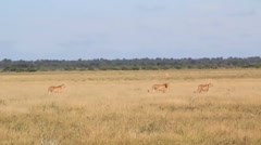 Cheetahs walking in field - stock footage