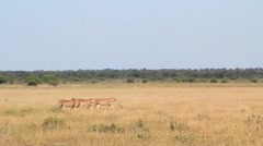 Three cheetahs hunting - stock footage