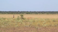 cheetahs three hunting - stock footage