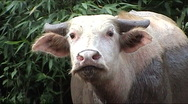 Stock Video Footage of Albino water buffalo
