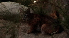 Bobcat Crouching In The Bush at Night Stock Footage