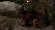 Stock Video Footage of Bobcat Crouching In The Bush at Night