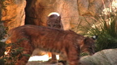Bobcats Coming Out Of Den Stock Footage