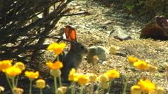 Desert Cottontail Jackrabbit In Mojave Stock Footage