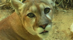 Female Mountain Lion Or Cougar Face 2 Stock Footage