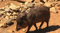 Javelina (also known as Peccary) 1 - stock footage