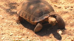 Stock Video Footage of Mojave Desert Tortoise Toward Camera