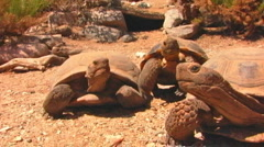 Mojave Desert Tortoises Clamboring Toward Camera Stock Footage