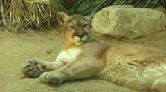 Mountain Lion or Cougar reclining - stock footage