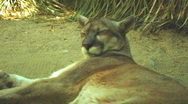 Stock Video Footage of Mountain Lion or Cougar Rolls Over