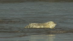 Grey Seal Pup - stock footage