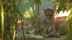 Mountain Lions or Cougars Resting Stock Footage