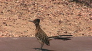 Stock Video Footage of Roadrunner Bird Running 1
