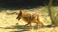 Coyote Running In Desert 2 Stock Footage