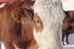 Cow portrait. Closeup. SD. - stock footage