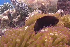 Tomate Cheek Clownfish Stock Footage