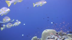 A school of Sweetlips Fish passing the camera Stock Footage