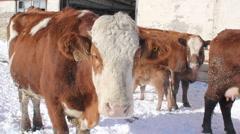 Cow portrait. - stock footage