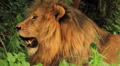 Lion Resting and Panting CU GFHD Footage