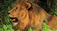 Lion Resting and Panting CU GFHD Stock Footage