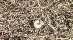 Male House Sparrow singing in a hawthorne hedge Stock Footage
