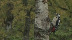 Great Spotted Woodpecker - stock footage