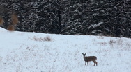 Stock Video Footage of Deer in winter