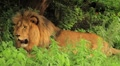 Lion Resting and Panting MS GFHD Footage