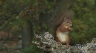 Stock Video Footage of Red Squirrel