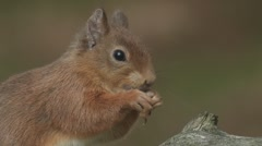 Red Squirrel - stock footage
