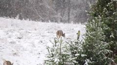 Deer in winter Stock Footage