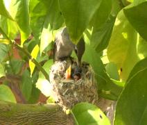Mother Hummingbird feeds 2 babies Stock Footage