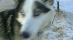 Norway, sled dog, close-up Stock Footage