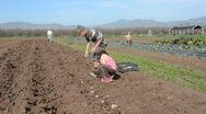 Planting potatoes on the farm Stock Footage