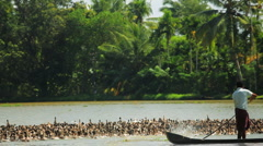 Local duck farmer, moving his stock in the Kerala backwaters, nr Alleppey, India - stock footage
