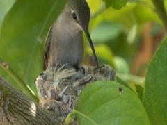 Hummingbird feeds chicks pt2 Stock Footage