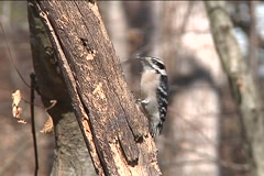 Hairy Woodpecker SD Stock Footage