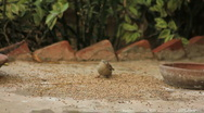 Sparrow Eating Grain Stock Footage