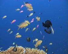 Anthias feeding on plankton 3 Stock Footage