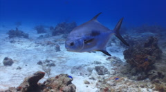 Dolphin fish swimming tropical Stock Footage